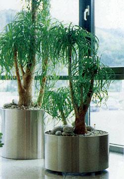 Крупные растения — пальмы, фикусы, монстеру, которые обычно проводят лето в лоджии или на балконе, на время вашего отсутствия следует занести в комнату и поставить в затененный угол
